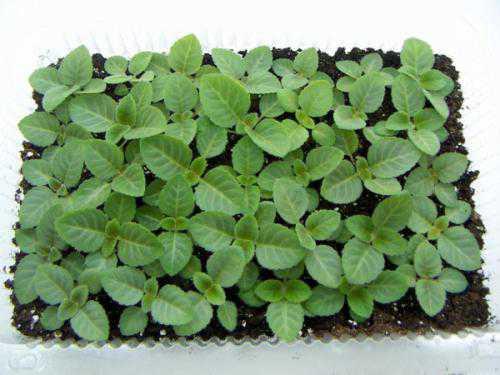 Выращивание глоксинии: технология посева,