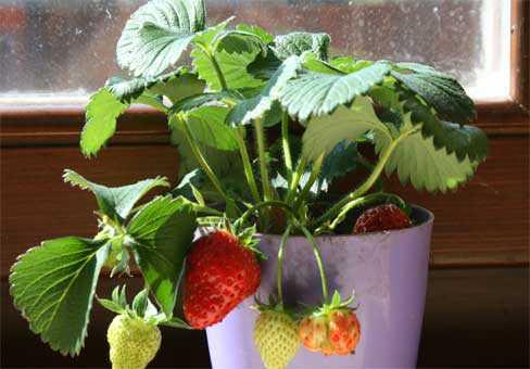 Выращивание земляники на подоконнике