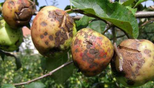 Почему гниют яблоки на дереве: что делать, если