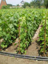 Как  посадить виноград осенью, преимущества
