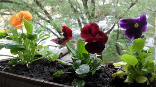 Выращивание виолы из семян: технология посева,