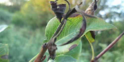 Почему чернеют листья на груше: болезни и