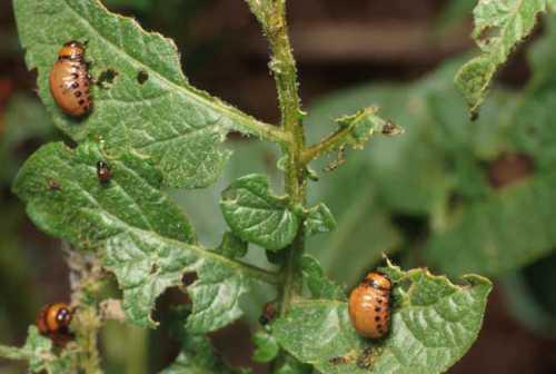 Как бороться с жуком