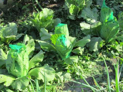 Как вырастить капусту, выбираем семена и